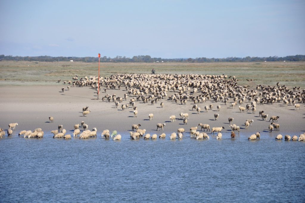 sheep, bay, somme